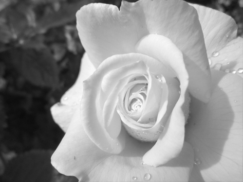 a white rose opens