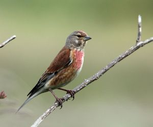 Where Linnets Sing