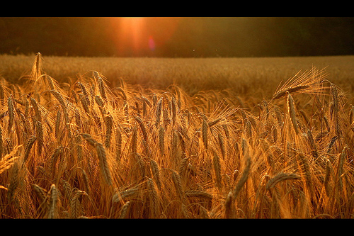 Barley Sheaves grow golden in the field